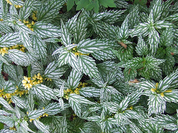Try These 4 Deer-Resistant Groundcovers in Your Landscape