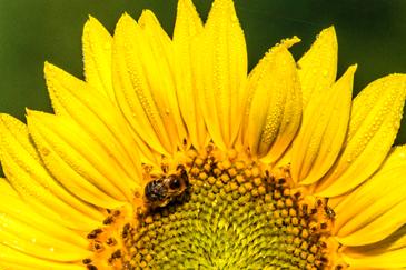 5 Native Perennials Great for Pollinators
