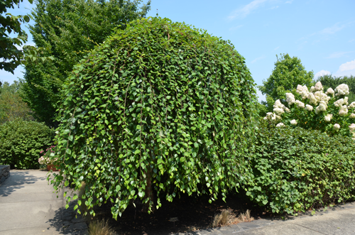 Ornamental Trees with a Serious WOW Factor