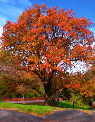 Our 6 Favorite Shade Trees for the TriState