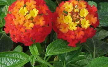 Unusual Annuals for Your Garden